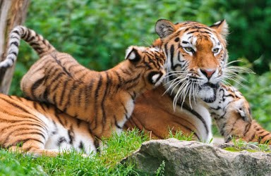 tiger_mom_and_kids_cats_animals_cubs_babies_1920x1080_hd-wallpaper-1120579-1