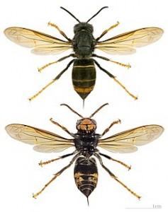 La avispa asiática (Vespa velutina). Las abejas y la polinización.