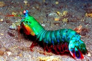 La gamba mantis (Gonodactylus smithii) es un crustáceo malacostráceo del orden Stomatopoda que habita en el gran arrecife de coral de Australia