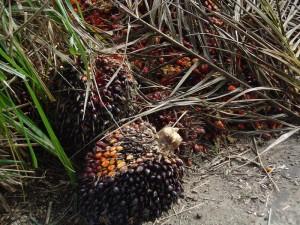Fruto de la palma Elaeis con la que se elabora el aceite.