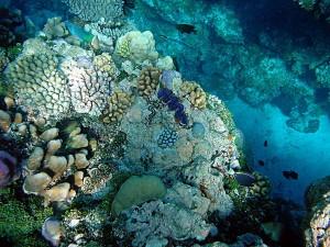 Arrecifes de coral en Papua Nueva Guinea con almejas gigantes, Tridacna maxima
